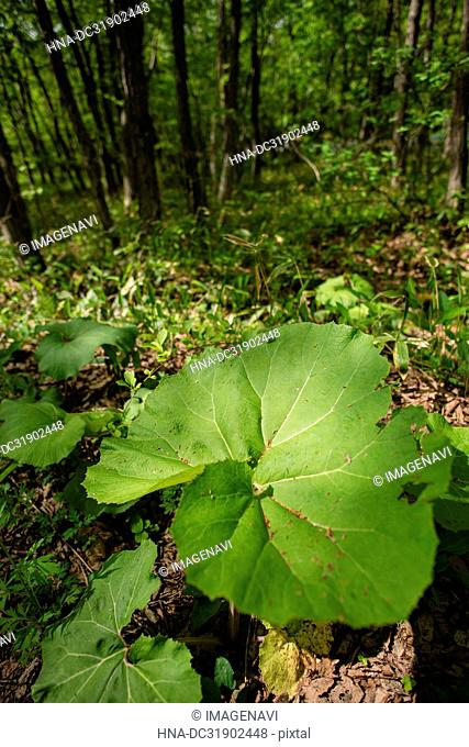 Butterbur Leaves