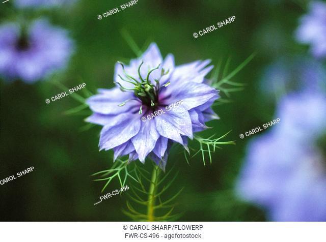 Nigella damascena, Love-in-a-mist, Blue subject