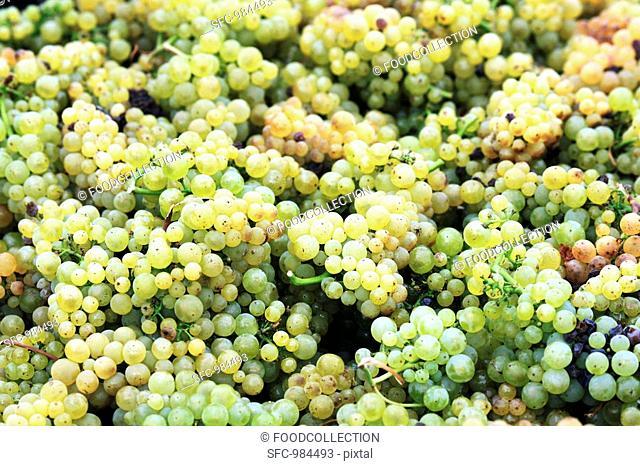 Pinot Blanc grapes after picking