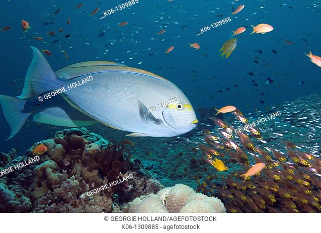 Elongate surgeonfish Acanthurus mata with sweepers in background Andaman Sea, Thailand