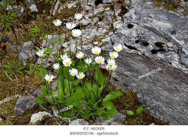 Daisy star, Daisy-star, Daisy-star aster (Aster bellidiastrum, Bellidiastrum michelii), blooming, Germany
