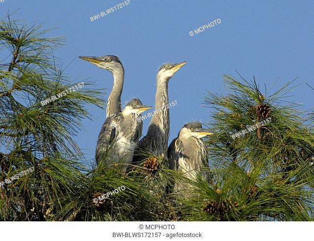 grey heron Ardea cinerea, with fledglings