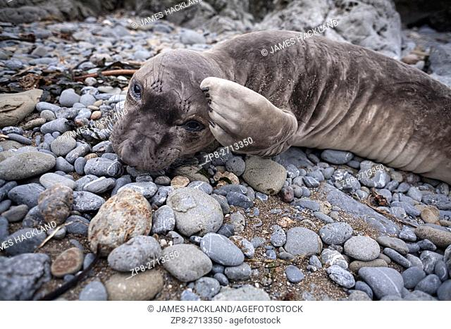 A Northern Elephant Seal pup (Mirounga angustirostris) scratches his head with his flipper while laying on a rocky shoreline along the pacific coastline