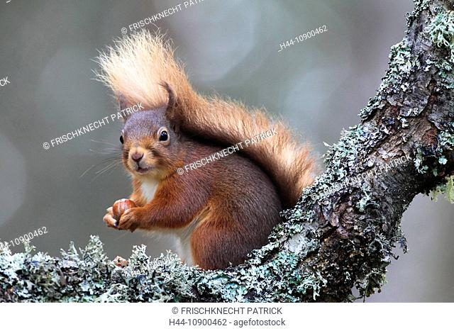 Branch, Knot, Cairngorms, squirrel, animal, food, eating, Eurasian, European squirrel, animal, feed, hazelnut, national park, park, nut, portrait, Scotland