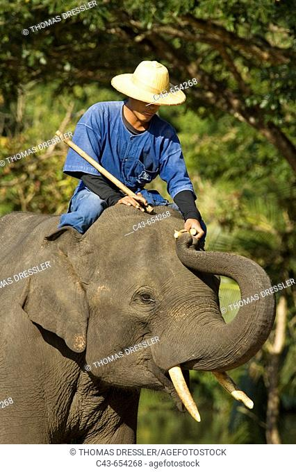 A mahout feeds his elephant with sugar cane during a training session. In his right hand an elephant prod, used to give certain commands to the elephant
