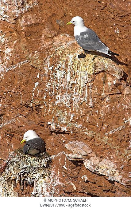 black-legged kittiwake (Rissa tridactyla, Larus tridactyla), breeding at rock wall, Europe, Germany, Schleswig-Holstein, Heligoland