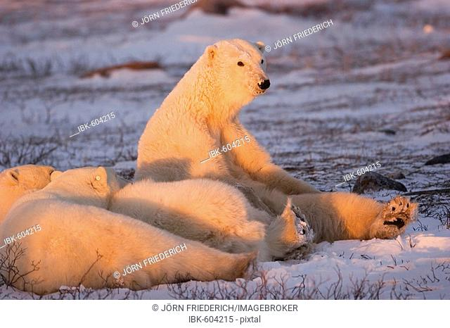 Polar Bear (Ursus maritimus) basking in the last light, Churchill, Manitoba, Canada