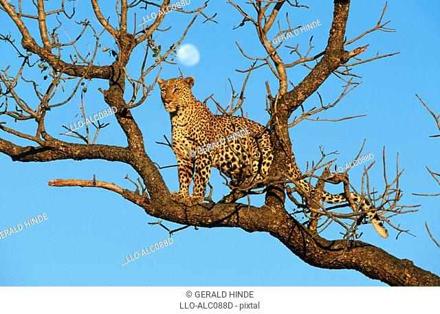 Low Angle View of a Leopard Panthera pardus Standing on a Bare Tree Branch  Sabi Sands Conservancy, Mpumalanga Province, South Africa