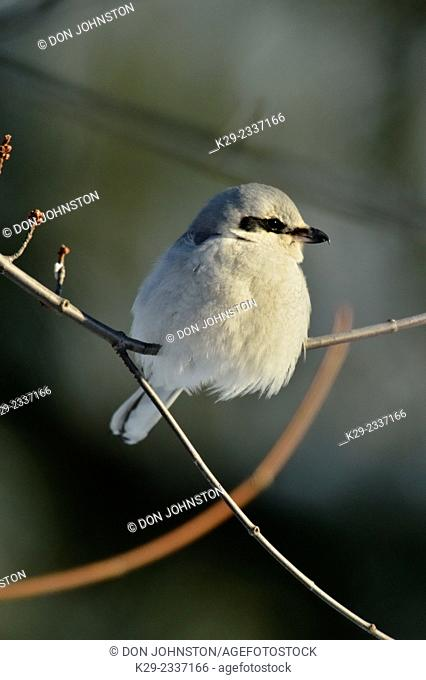 Great Grey Shrike, Northern Grey Shrike, or Northern Shrike (Lanius excubitor) , Greater Sudbury (Lively), Ontario, Canada