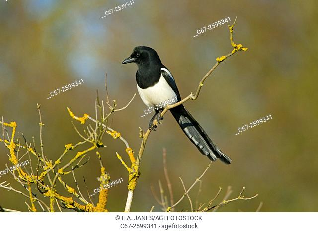 Magpie Pica pica perched in hedgerow at Titchwell Norfolk