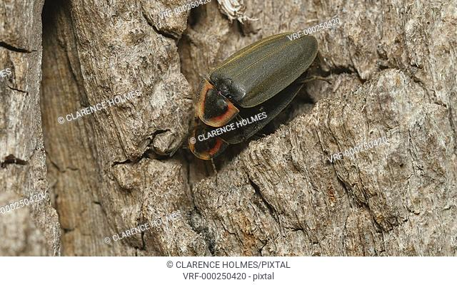 A pair of Winter Fireflies (Ellychnia corrusca) mate on the side of a Black Locust tree trunk in spring