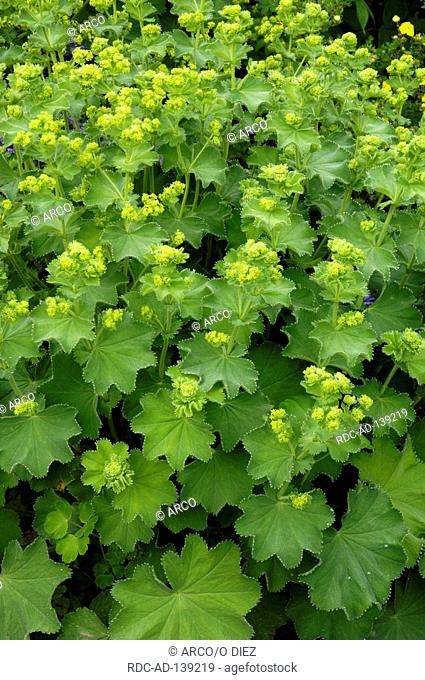 Lady's Mantle Alchemilla vulgaris