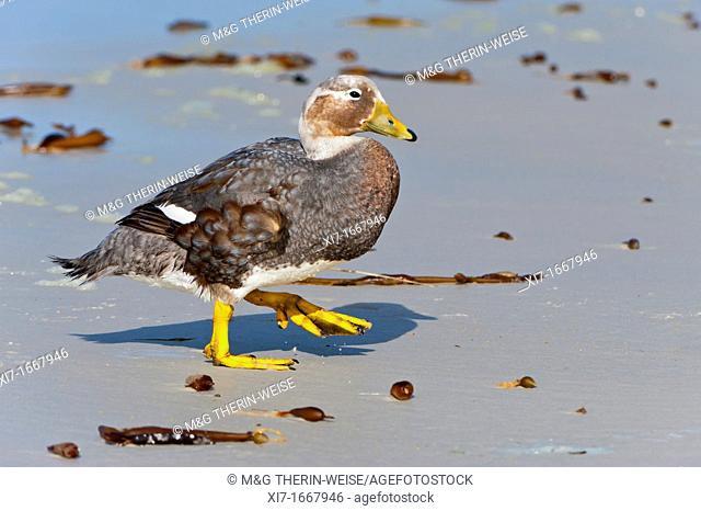 Falkland Steamer Duck Tachyeres brachypterus, Saunders Island, Falkland Islands