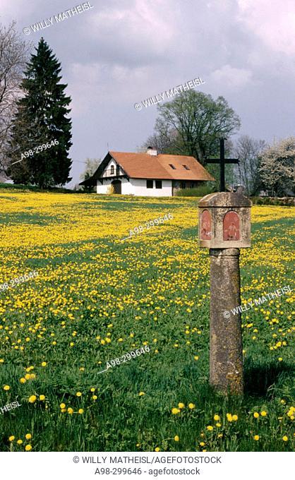 Dandelions field near Krumau. Bohemian forest. Czech Republic