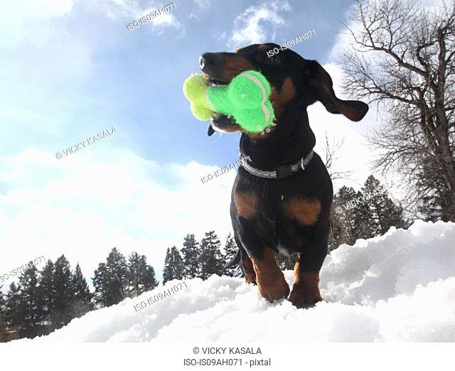 Low angle view of dachshund with a toy bone in snow