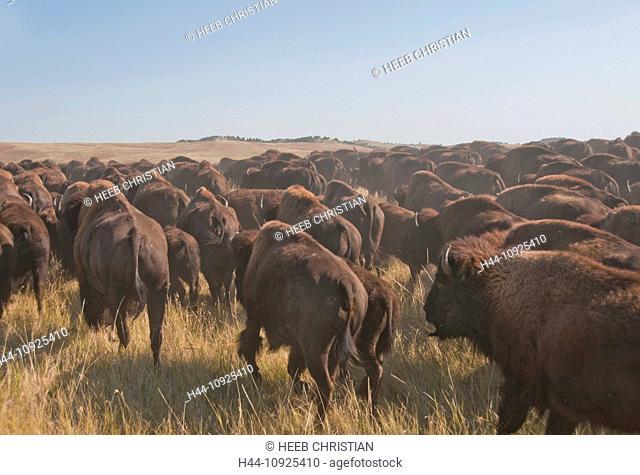 Bison, bos bison, buffalo, herd, foliage, autumn, fall, dust, stampede, prairie, grassland, Great Plains, Custer, State Park, herding, Black Hills, South Dakota