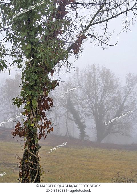 Misty winter morning with Huge creeper, Common Ivy (Hedera helix) covering a Oak tree (Quercus robur). Lluçanès region, Barcelona province, Catalonia, Spain