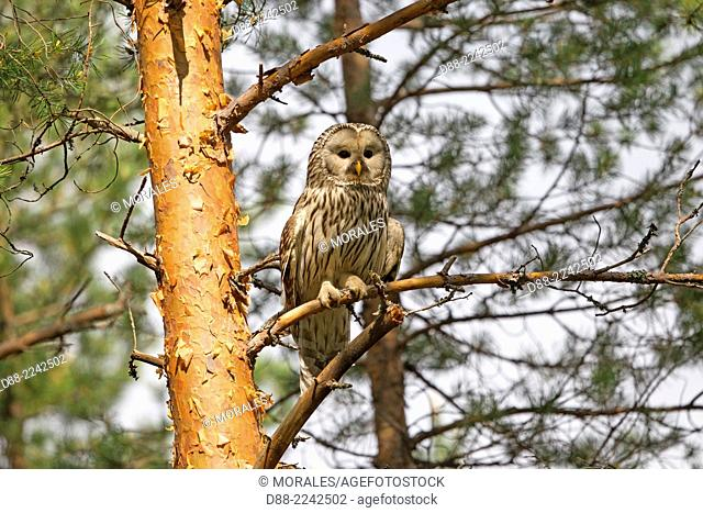 Europe,Finland,Kuhmo area,Kajaani,Ural owl (Strix uralensis),adult female,perched on a tree
