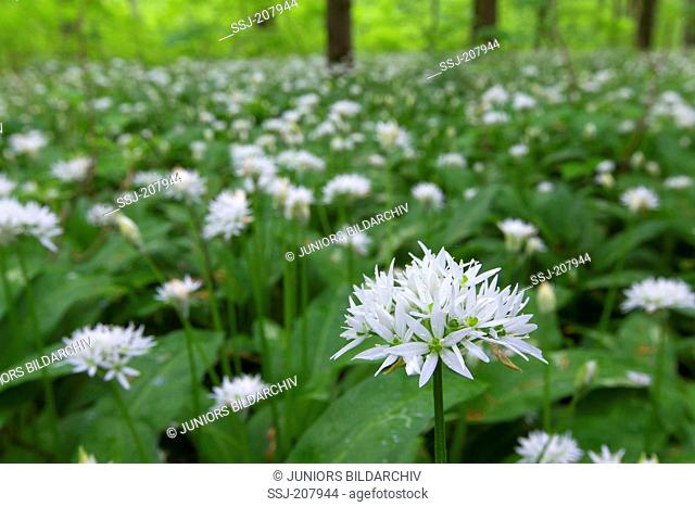 Ramsons, Wood Garlic (Allium ursinum) completely covering the forest floor of a beech forest in early May. Hainich National Park, Thuringia, Germany