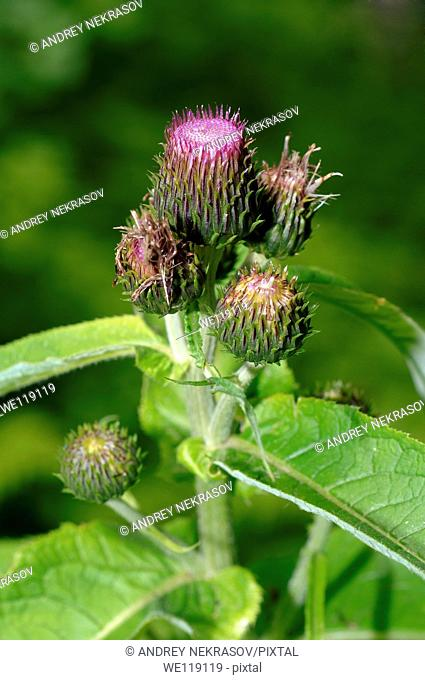 Greater burdock, edible burdock, burdock, lappa Arctium lappa  Lake Baikal, Siberia, Russian Federation