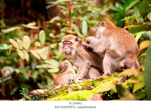 Monkey family taking care of each others in bako national park