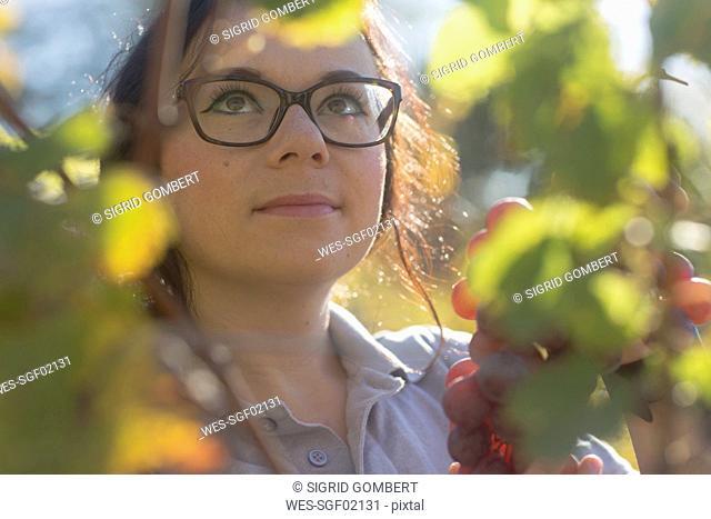 Germany, vineyard, woman harvesting blue grapes
