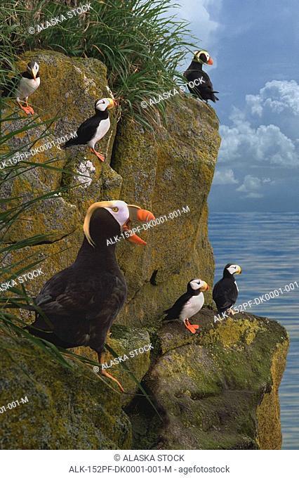 Tufted & Horned Puffins Bering Sea Round Isl WE AK summer portrait Digital Image