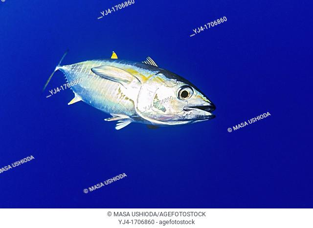 yellowfin tuna or ahi in Hawaiian, Thunnus albacares, juvenile, shibi or shibiko in Hawaiian, offshore, Kona Coast, Big Island, Hawaii, USA, Pacific Ocean