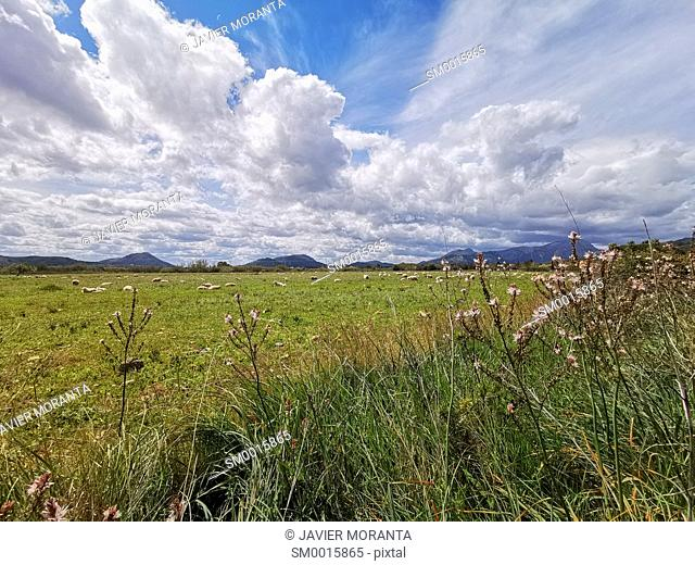 Grazing field in Pollensa, Mallorca, Balearic Islands, Spain