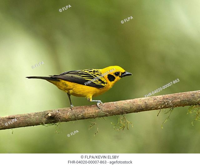 Golden Tanager (Tangara arthus) adult, perched on twig in montane rainforest, Andes, Ecuador, November
