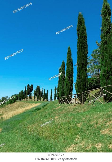 Cypress (Cupressus sempervirens) trees landscape in Tuscany