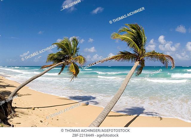 palm beach with Cocospalm (Cocos nucifera)