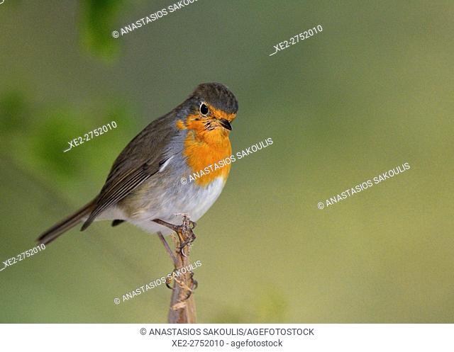 European Robin - Erithacus rubecula, Greece