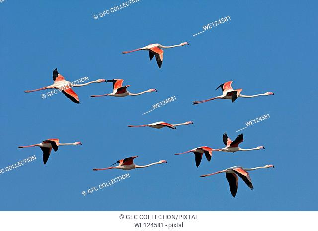 Flock of Greater Flamingo (Phoenicopterus roseus) in flight, Camargue, France