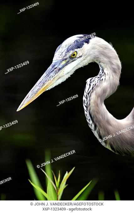 Great Blue Heron, Ardea herodias, closeup of head  Shark River Slough, Everglades National Park, Florida, USA