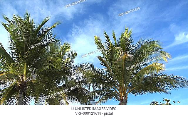 Slow pan through upper portion of palm trees in breeze