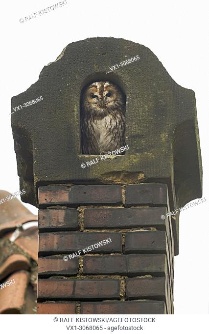 Tawny Owl (Strix aluco) feels comfortable in an old chimney made out of red bricks, wildlife, Germany, Europe
