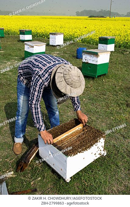 MUNSHIGONJ, BANGLADESH - JANUARY 06 : Farmers removes and processing honeycomb from beehive beside a mustard field in Munshigonj, Bangladesh on January 06, 2016