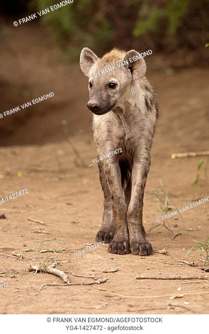Spotted Hyena Crocuta crocuta   Mashatu Game Reserve  Tuli block, Botswana  November 2010