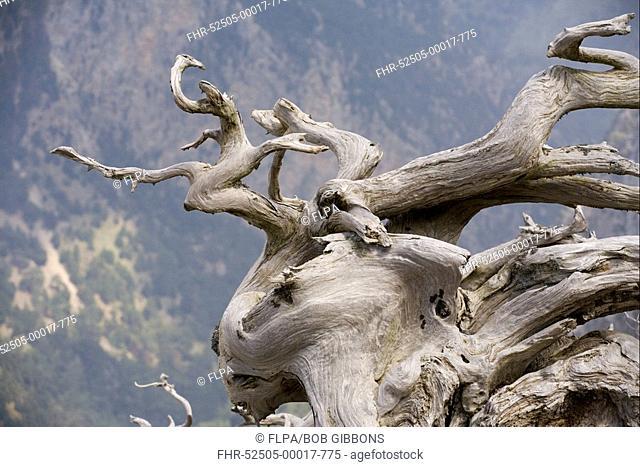Italian Cypress Cupressus sempervirens ancient gnarled trunk, White Mountains, Crete, Greece