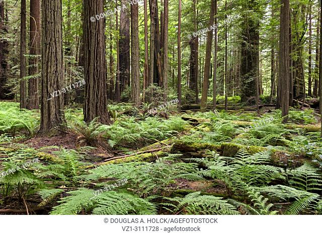 Green ferns grow where ancient redwoods, Sequoia sermpervirens, decompose in a forest of the Avenue of the Giants, Northern California, USA