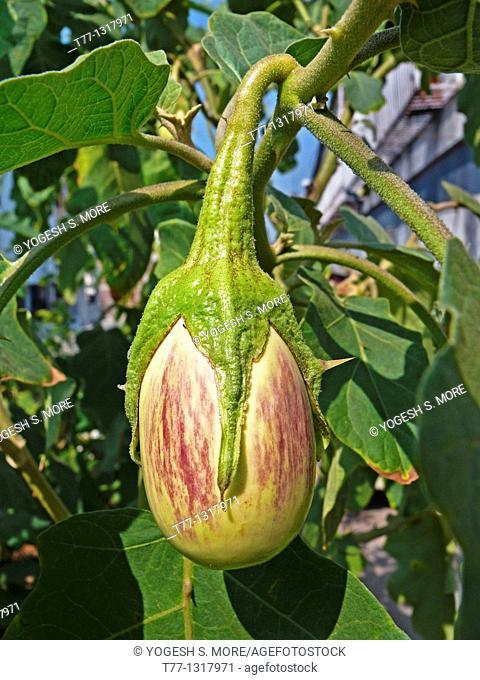 Brinjal, Eggplant, Solanum melongeana L