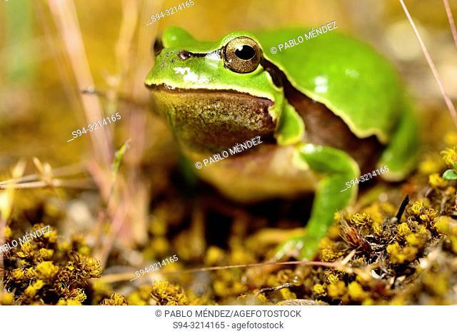 Iberian tree frog (Hyla molleri) in Valdemanco, Madrid, Spain
