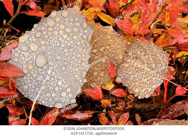 Fallen autumn poplar leaves with raindrops and blueberry shrubs