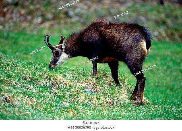 Chamois, Rupicapra rupicapra, Bovidae, browsing, animal, mammal, Leventina, Alps, Canton of Ticino, Switzerland