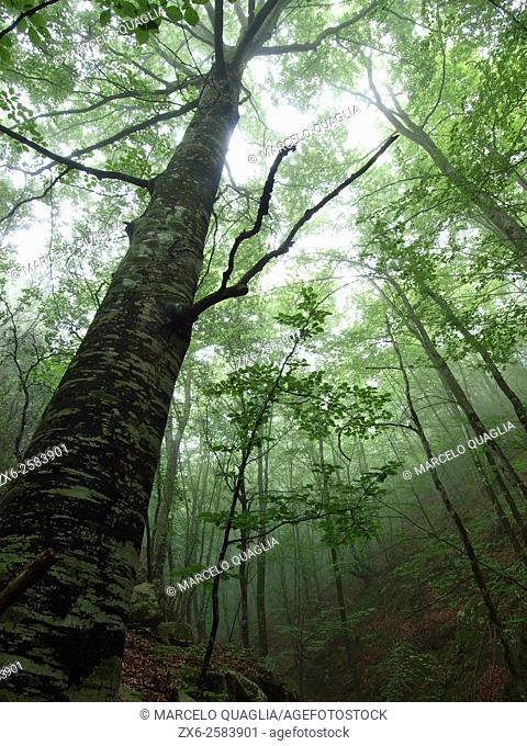 Beech forest (Fagus sylvatica) on a summer foggy afternoon. Montseny Natural Park. Barcelona province, Catalonia, Spain