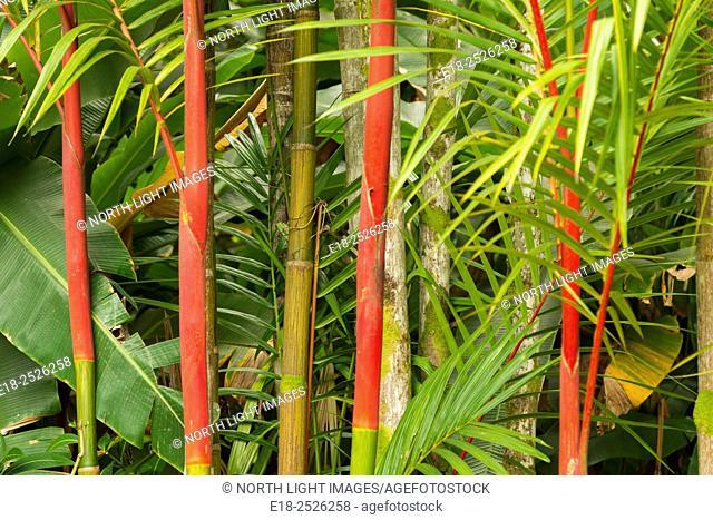 USA, Hawai, Oahu. Red colored bamboo at the Ho'omaluhia Botanical Garden