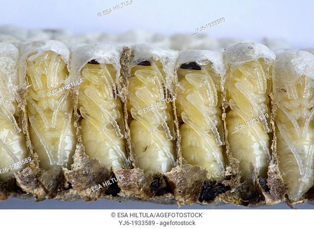 Paper wasp pupae, Dolichovespula saxonica