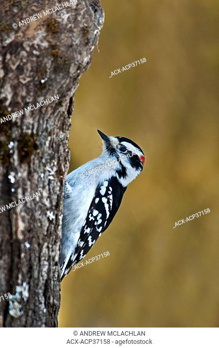 Hairy Woodpecker male Picoides villosus clinging to tree trunk