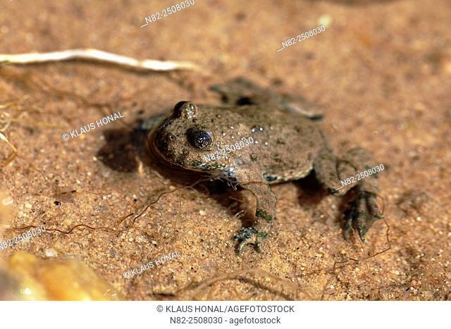 Yellow-bellied toad or Yellowbelly toad Bombina variegata is dependent on the aquatic environment - Bavaria/Germany